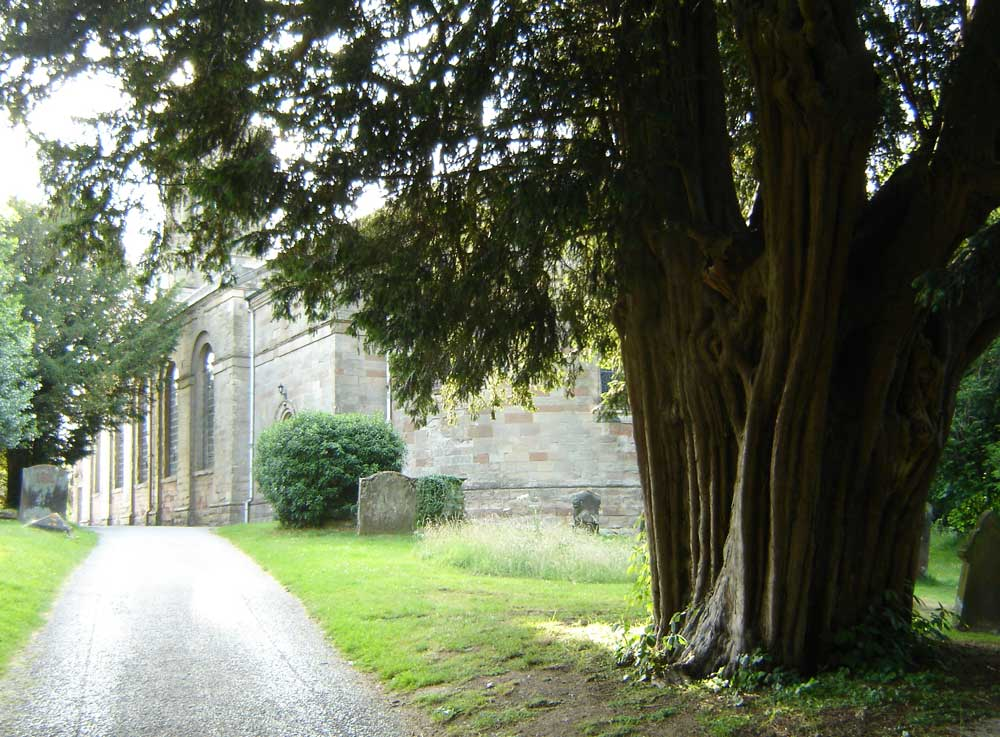 One of the ancient yew trees at the entrance to St Bartholomew's churchyard